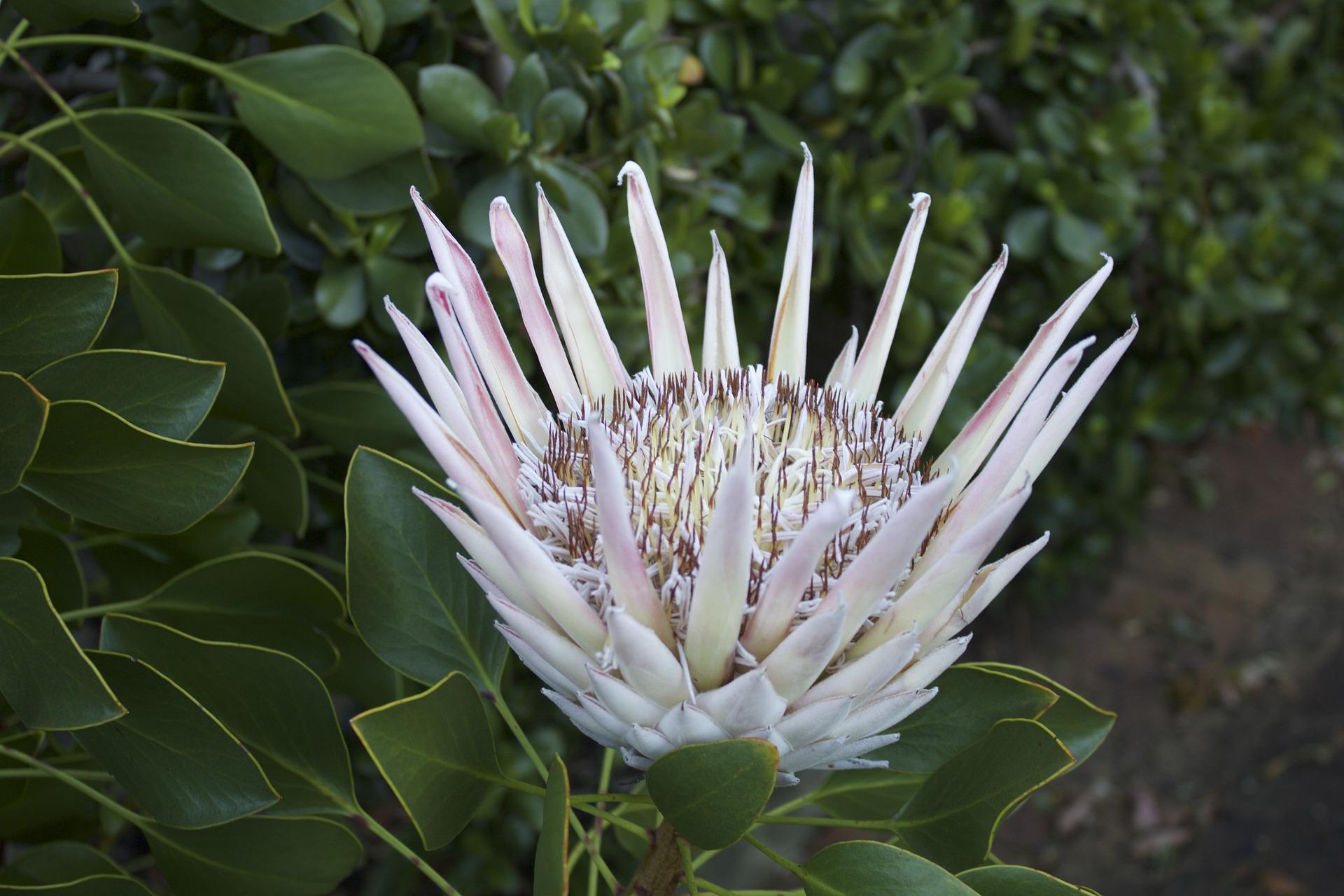 Protea Arctic white