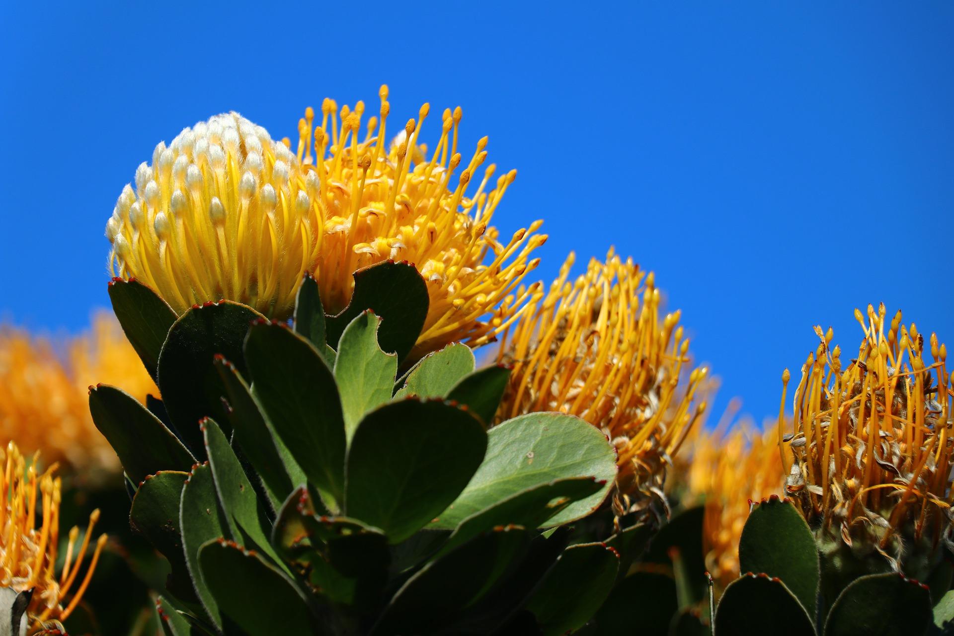 Protea carnival yellow